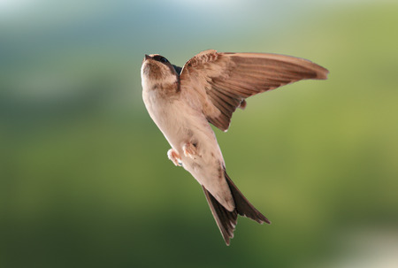 Bird, swallow on flying 스톡 콘텐츠