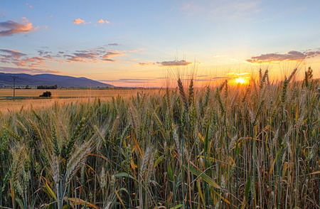 field sunset: field with gold ears of wheat in sunset