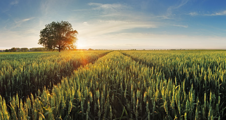 green field: Wheat field at sunset