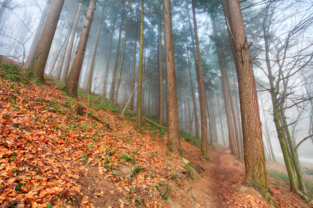 woodland  horror: Forest in mist