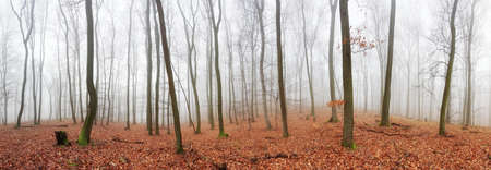 foggy: Panorama of Autumn forest with trees at mist Stock Photo