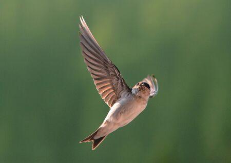 flight: Bird, swallow on flying Stock Photo