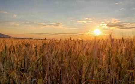 grain fields: Sunset over wheat field. Stock Photo