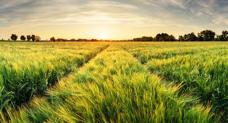 サンセットの時間のパスを持つ小麦フィールド風景