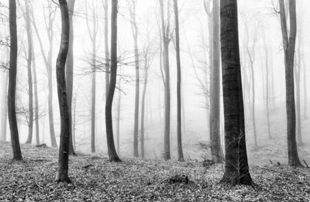 fog white: Forest mist in BW