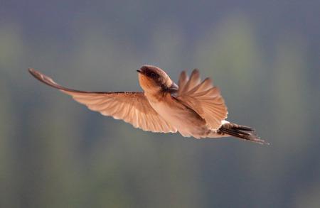 Bird, swallow on flying Stock Photo
