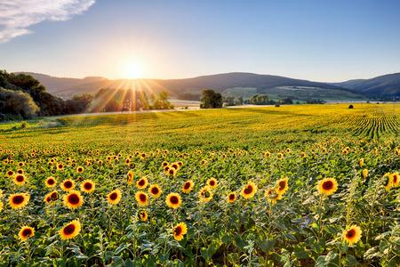 Pole słoneczników o zachodzie słońca