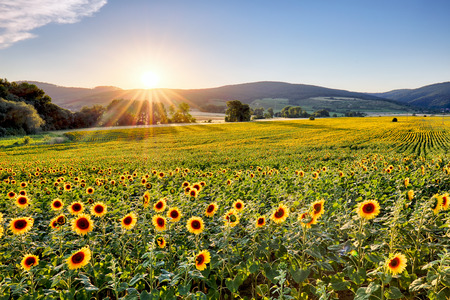 flowers field: Sunflower field at sunset