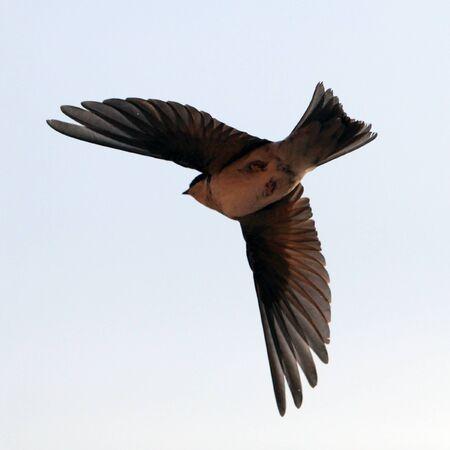 swift: Bird, swallow on flying Stock Photo