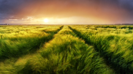 Campo di grano paesaggio di erba verde tramonto