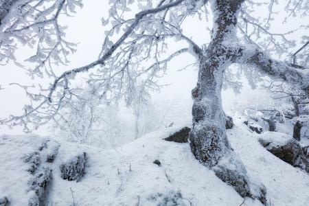 frost winter: Frost tree in winter mountain