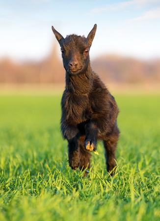 Little goat run in green meadow