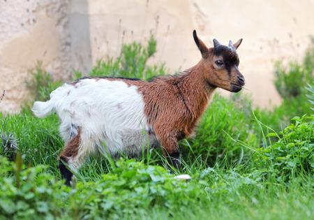 Little dutch goat in nature