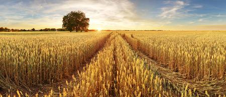 Panorama of wheat field at sunset