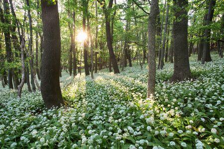 Wild garlic flowers in the forest