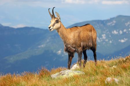 Chamois - Rupicapra Carpatica who goes on a mountain Reklamní fotografie
