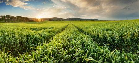 Panorama of green wheat field at sunset with sun Reklamní fotografie
