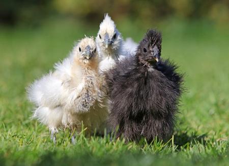 Chicken silk chinese bio farm, outdoor
