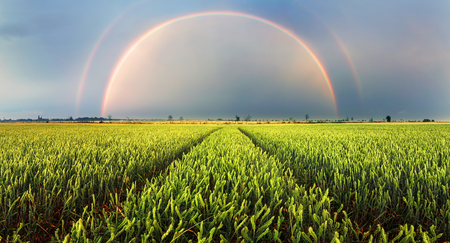 Wheat field green grass landscape sunset with rainbow