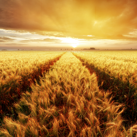 Gold Wheat flied at sunset, rural countryside Reklamní fotografie