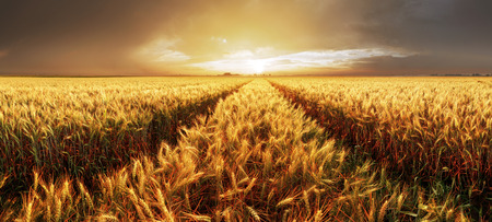 Panorama of wheat field at sunset
