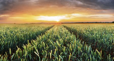 Wheat field green grass landscape sunset
