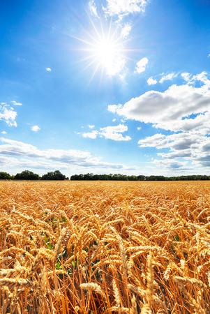 Wheat field with sun anb blue sky, Agriculture industry Reklamní fotografie