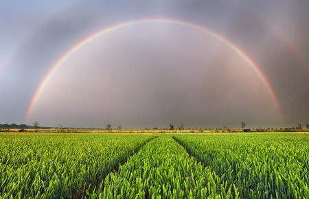 Rainbow over wheat field, panorama