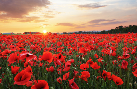 Meadow with Poppy flowers
