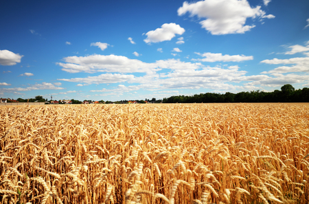 Wheat field with sun anb blue sky, Agriculture industry Reklamní fotografie