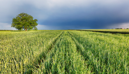 Spring wheat field landscape with path