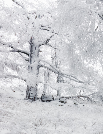 Panorama of winter forest with trees covered snow Reklamní fotografie