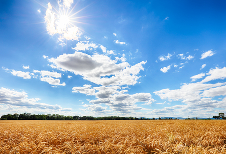 Gold Wheat flied with sun, rural countryside agriculture Reklamní fotografie