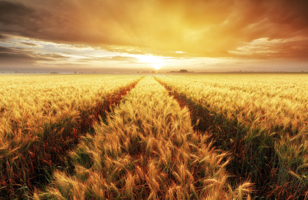Wheat field with gold sunset landscape, Agriculture industry