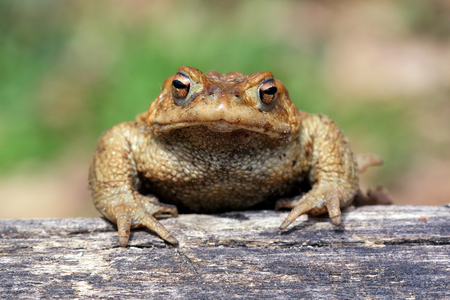 Toad (Bufo Bufo) is a frog native to sandy and heathland areas of Europe