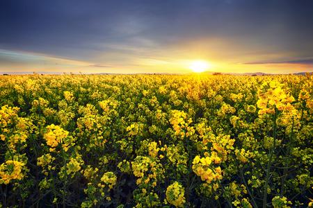 Canola yellow field, landscape