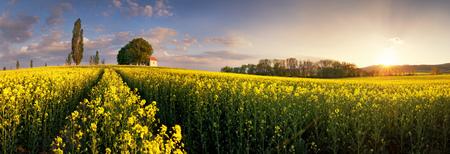 Yellow rape fields at sunset with chapel