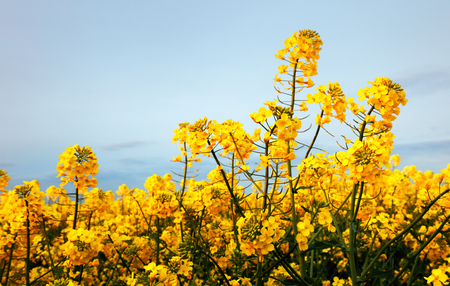 Detail of flowering rapeseed canola or colza in latin Brassica Napus, plant for green energy and oil industry