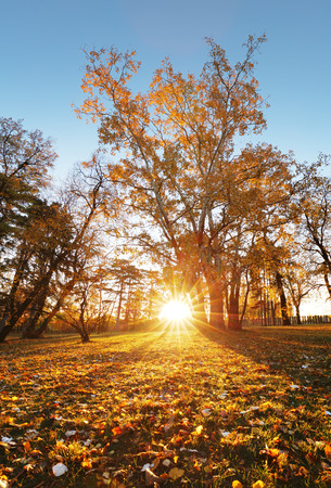 Trees with multicolored leaves on the grass in the park. Maple foliage in sunny autumn. Sunlight in early morning in forest 写真素材