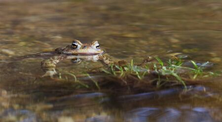 Portrait of a beautiful toad with head above the water surface