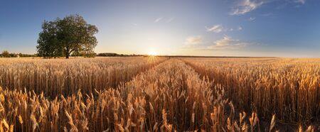 Wheat field. Ears of golden wheat close up. Beautiful Rural Scenery under Shining Sunlight and blue sky. Background of ripening ears of meadow wheat field. Stok Fotoğraf