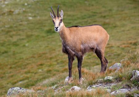 Chamois in nature - Rupicapra, Tatras, Slovakia Stok Fotoğraf