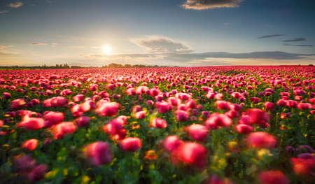 Poppy purple field at sunset Фото со стока