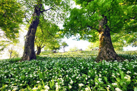 White flowers of the ramsons or wild garlic in the deep forest.