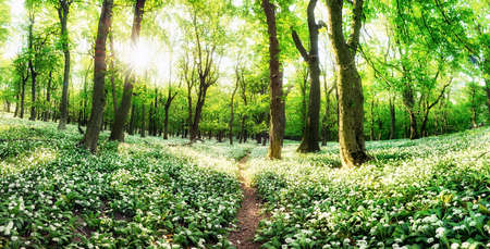 White garlic in spring forest with path, wild flowers