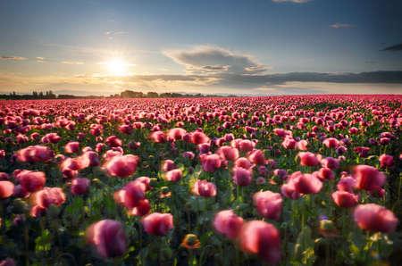Landscape with nice sunset over poppy field Фото со стока