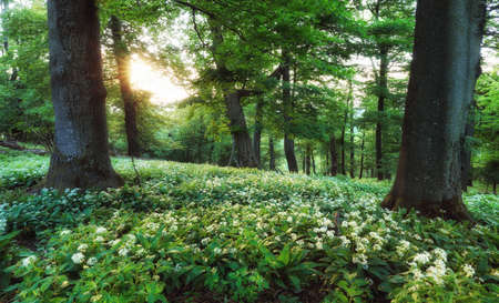 Spring Forrest. Fresh Green Woods in the Forest. Blooming wild garlic. Фото со стока