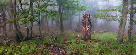 Beautiful panorama forest at foggy sunrise. Tree trunks and cold mist landscape.