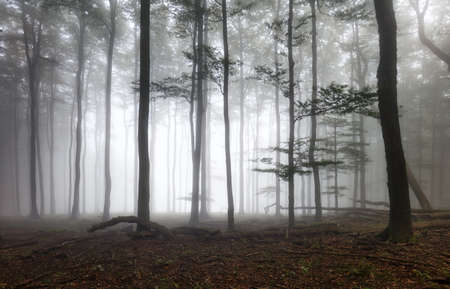 Beautiful forest at foggy sunrise. Tree trunks and cold mist landscape.