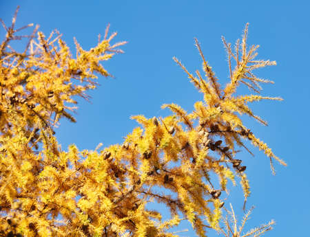 autumn yellowed larch branches close up , Autumn Background , fall season concept Reklamní fotografie